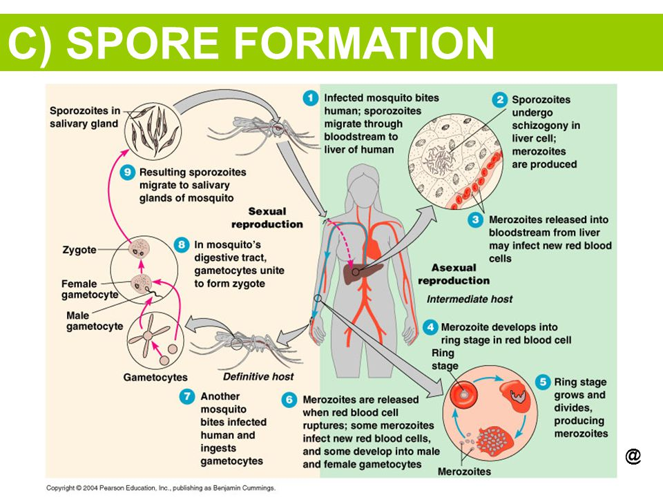 C) SPORE FORMATION @