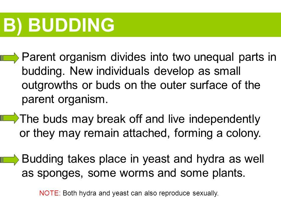 B) BUDDING
