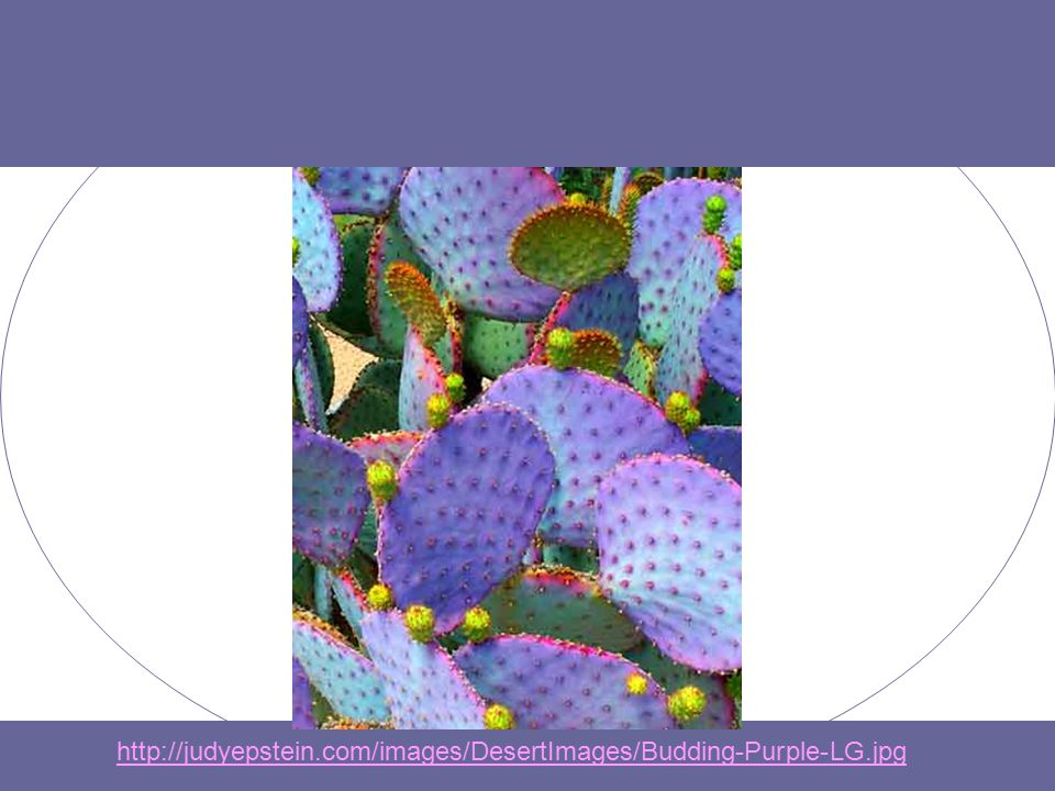 http://judyepstein.com/images/DesertImages/Budding-Purple-LG.jpg