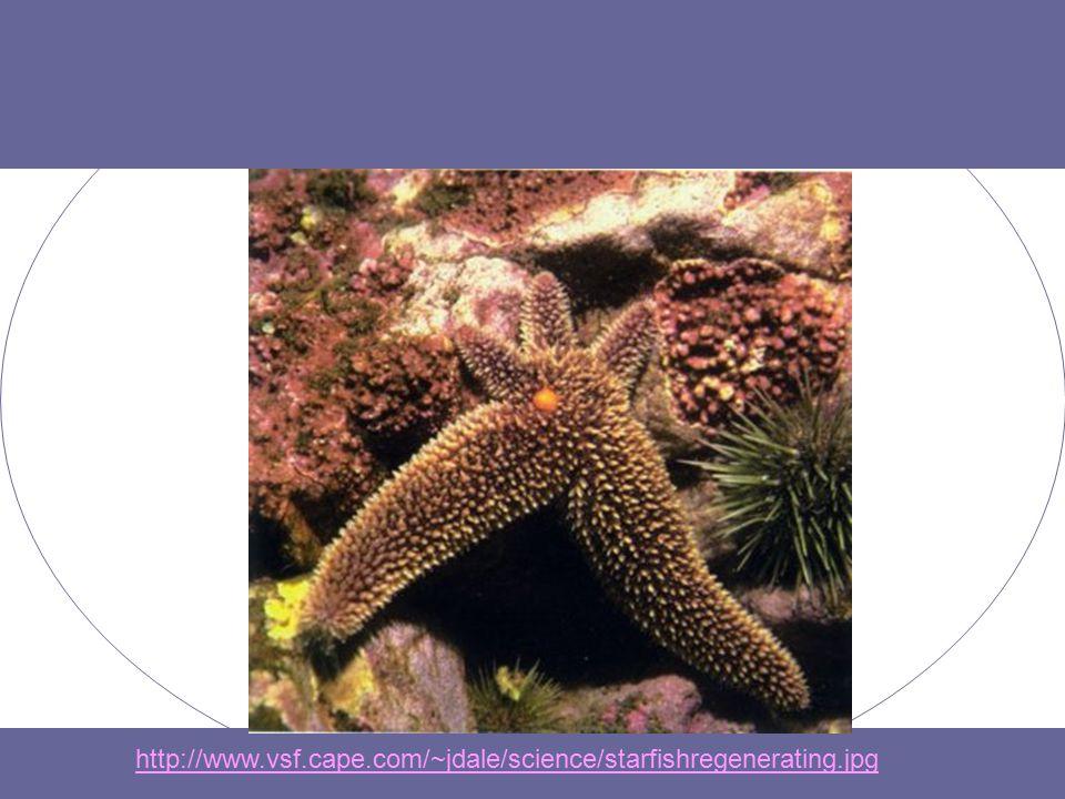 http://www.vsf.cape.com/~jdale/science/starfishregenerating.jpg