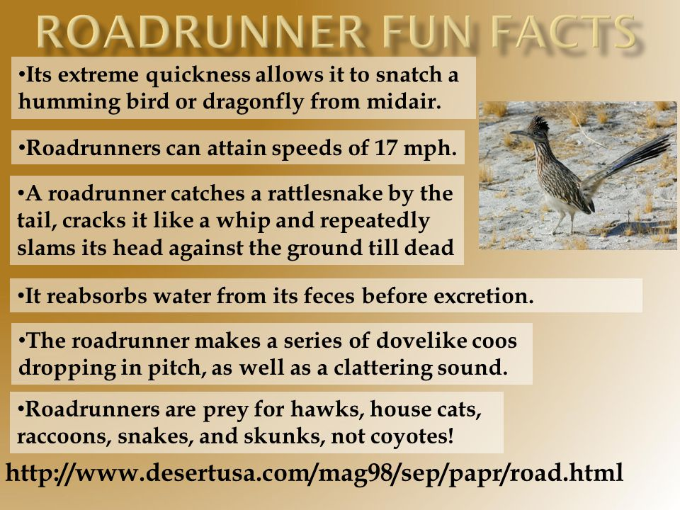 Roadrunner fun facts http://www.desertusa.com/mag98/sep/papr/road.html
