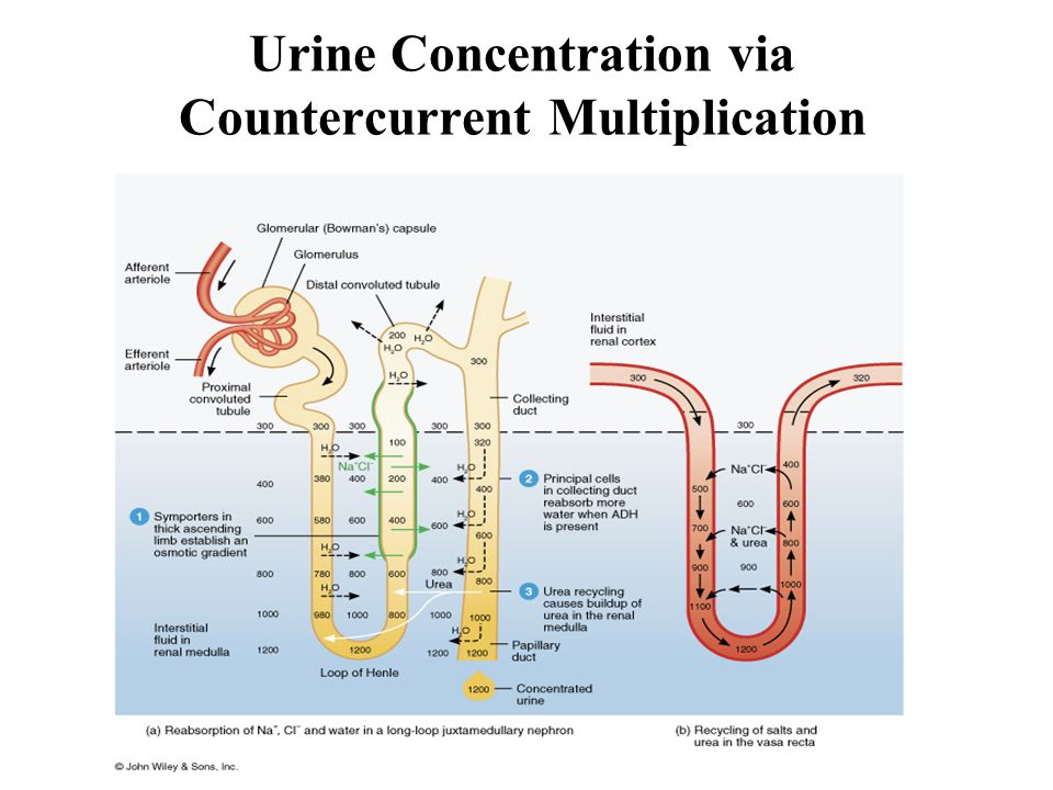 Urine Concentration via Countercurrent Multiplication