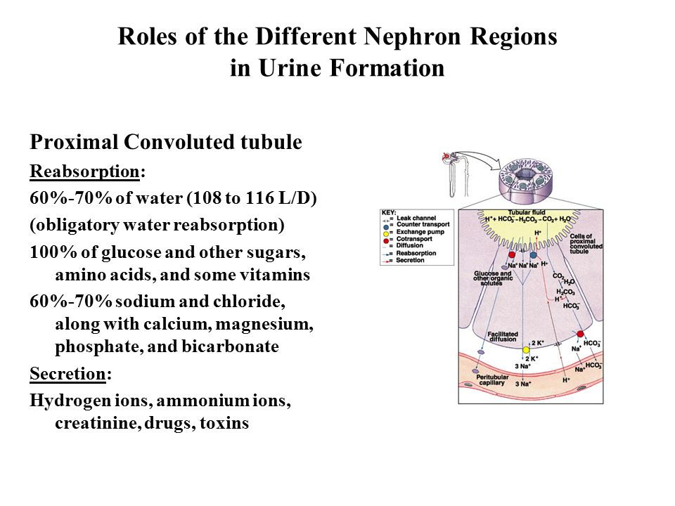 Roles of the Different Nephron Regions in Urine Formation