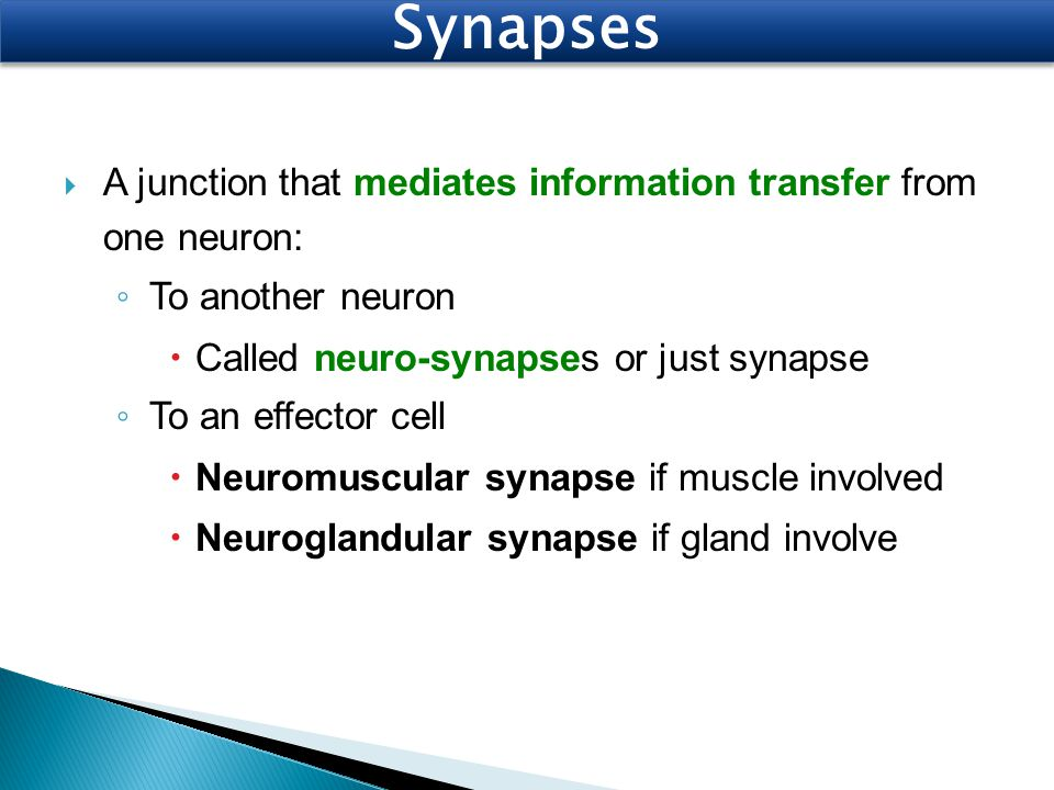 Synapses A junction that mediates information transfer from one neuron: To another neuron. Called neuro-synapses or just synapse.