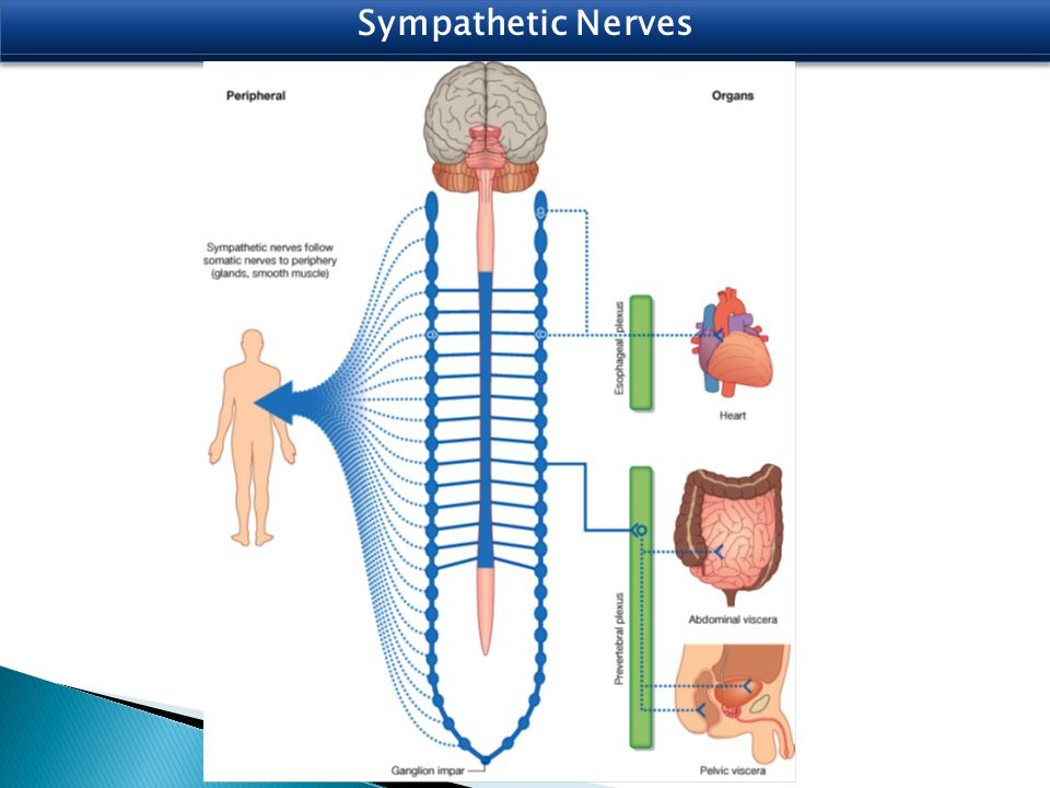 Sympathetic Nerves
