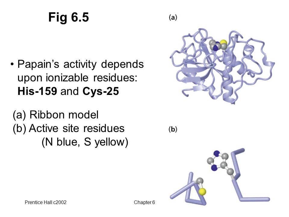 Fig 6.5 Papain's activity depends upon ionizable residues: His-159 and Cys-25. (a) Ribbon model (b) Active site residues (N blue, S yellow)
