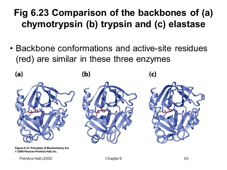 Fig 6.23 Comparison of the backbones of (a) chymotrypsin (b) trypsin and (c) elastase