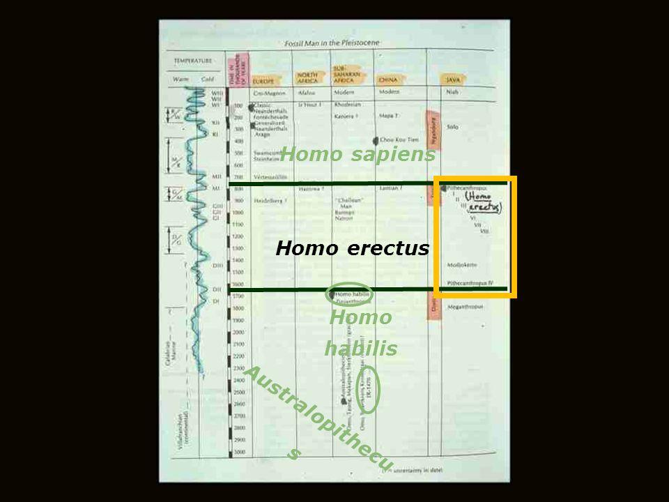 Homo sapiens Homo erectus Homo habilis Australopithecus