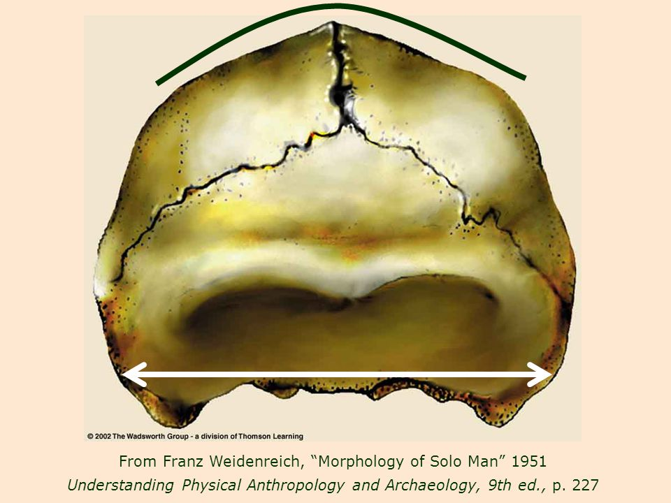 From Franz Weidenreich, Morphology of Solo Man 1951