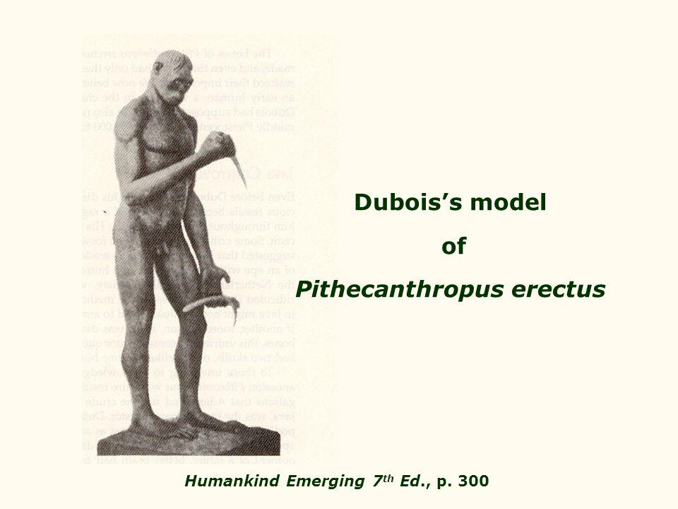 Pithecanthropus erectus Humankind Emerging 7th Ed., p. 300