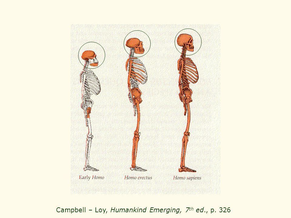 Campbell – Loy, Humankind Emerging, 7th ed., p. 326