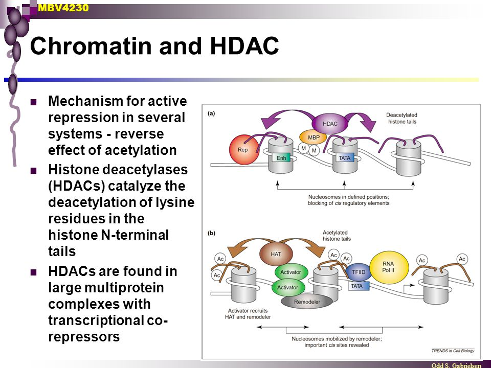 Chromatin and HDAC Mechanism for active repression in several systems - reverse effect of acetylation.