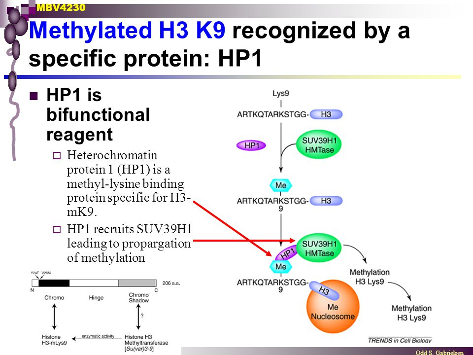 Methylated H3 K9 recognized by a specific protein: HP1