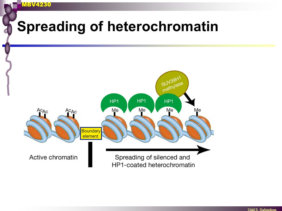 Spreading of heterochromatin