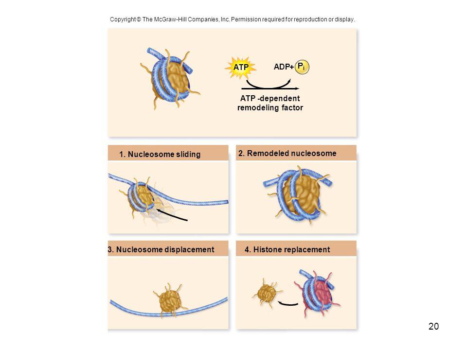 Pi ATP ADP + ATP -dependent remodeling factor 1. Nucleosome sliding