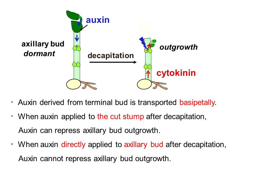 auxin cytokinin axillary bud outgrowth dormant decapitation
