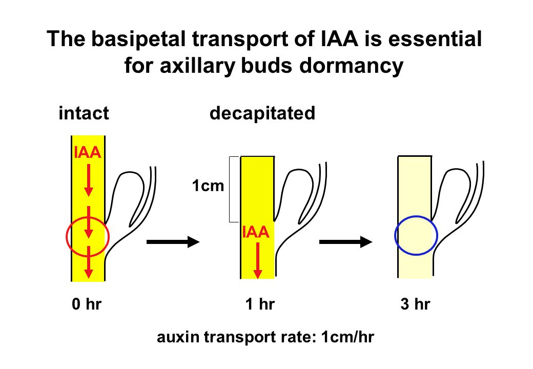 The basipetal transport of IAA is essential for axillary buds dormancy