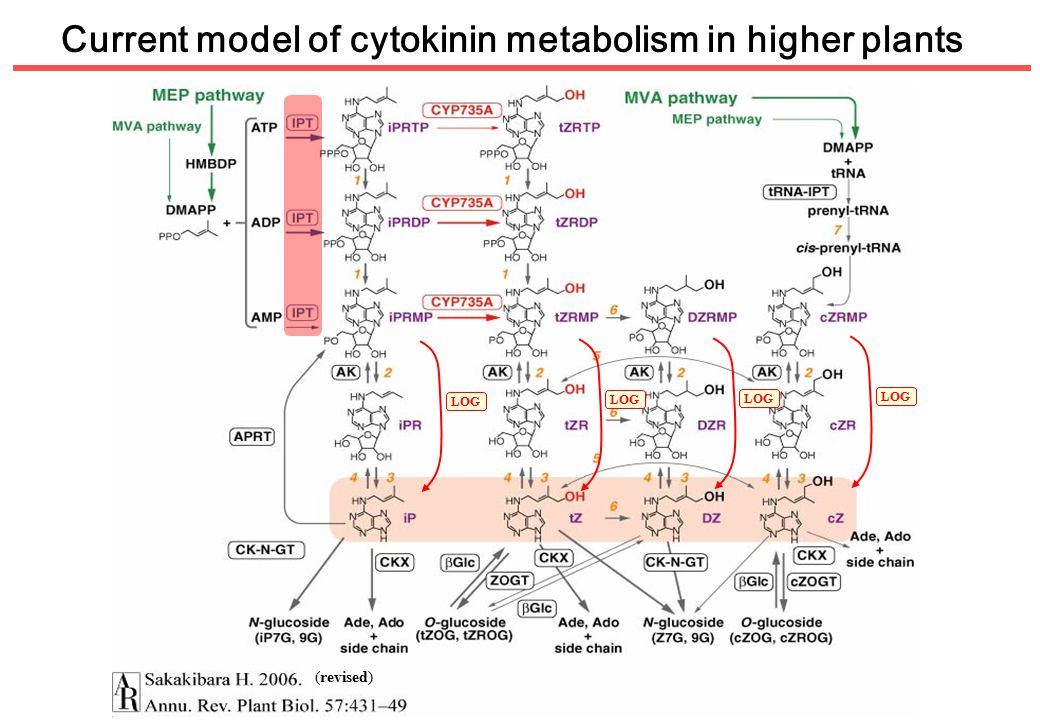 Current model of cytokinin metabolism in higher plants