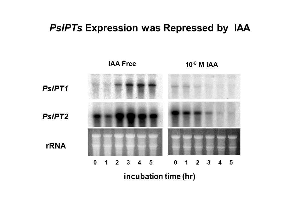 PsIPTs Expression was Repressed by IAA