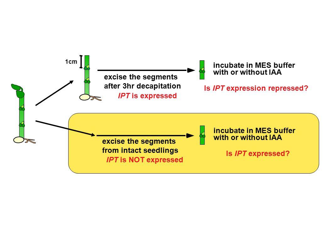 Is IPT expression repressed