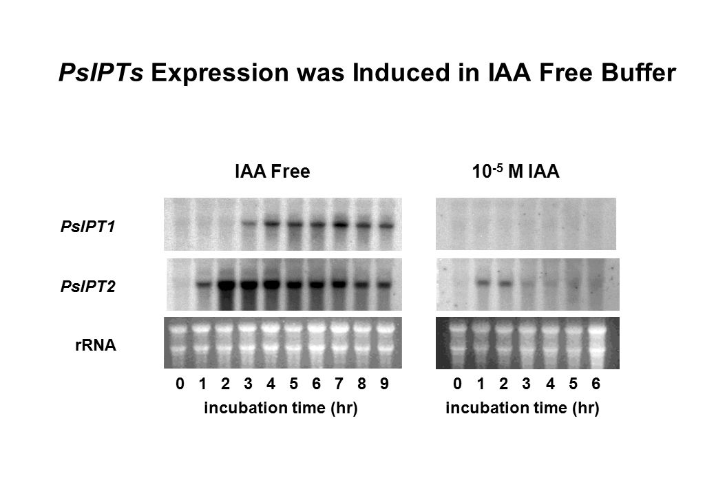 PsIPTs Expression was Induced in IAA Free Buffer