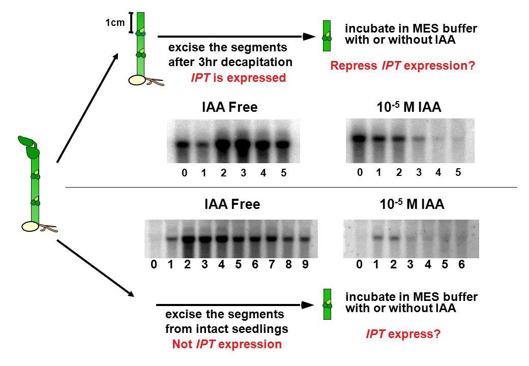 10-5 M IAA IAA Free 10-5 M IAA excise the segments