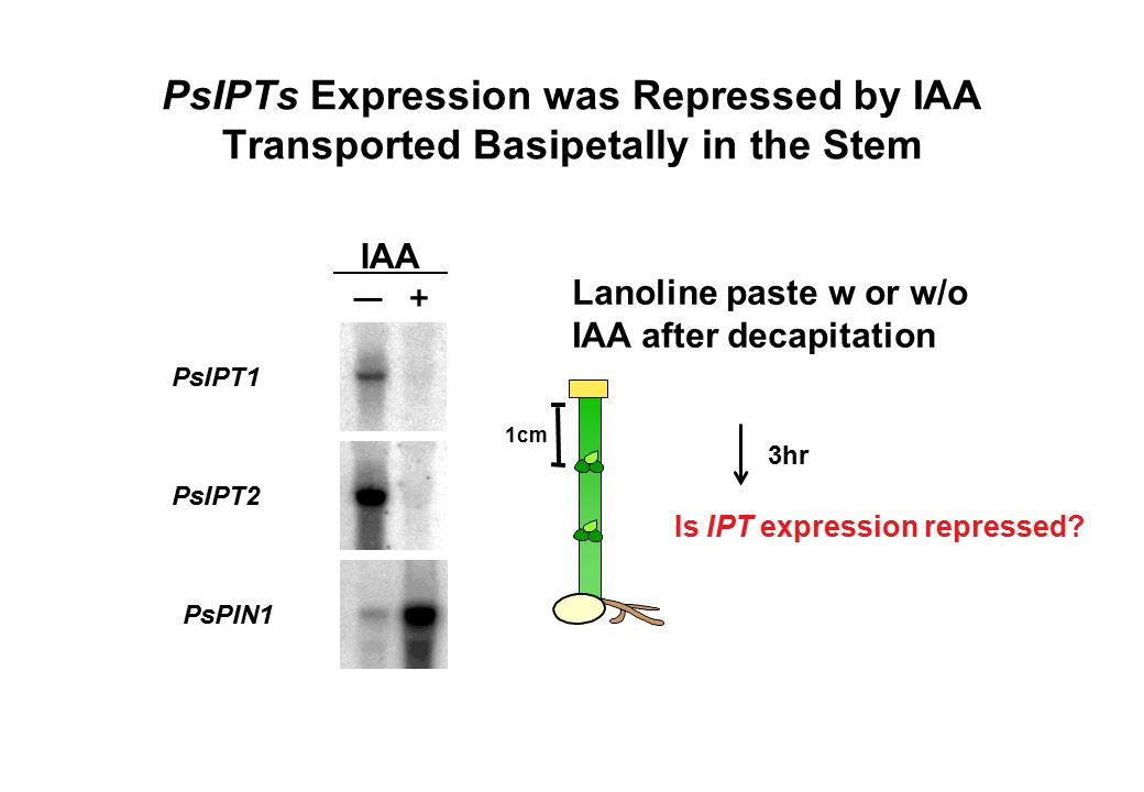 PsIPTs Expression was Repressed by IAA Transported Basipetally in the Stem