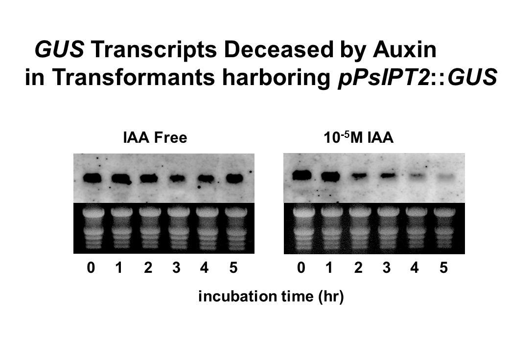 in Transformants harboring pPsIPT2::GUS
