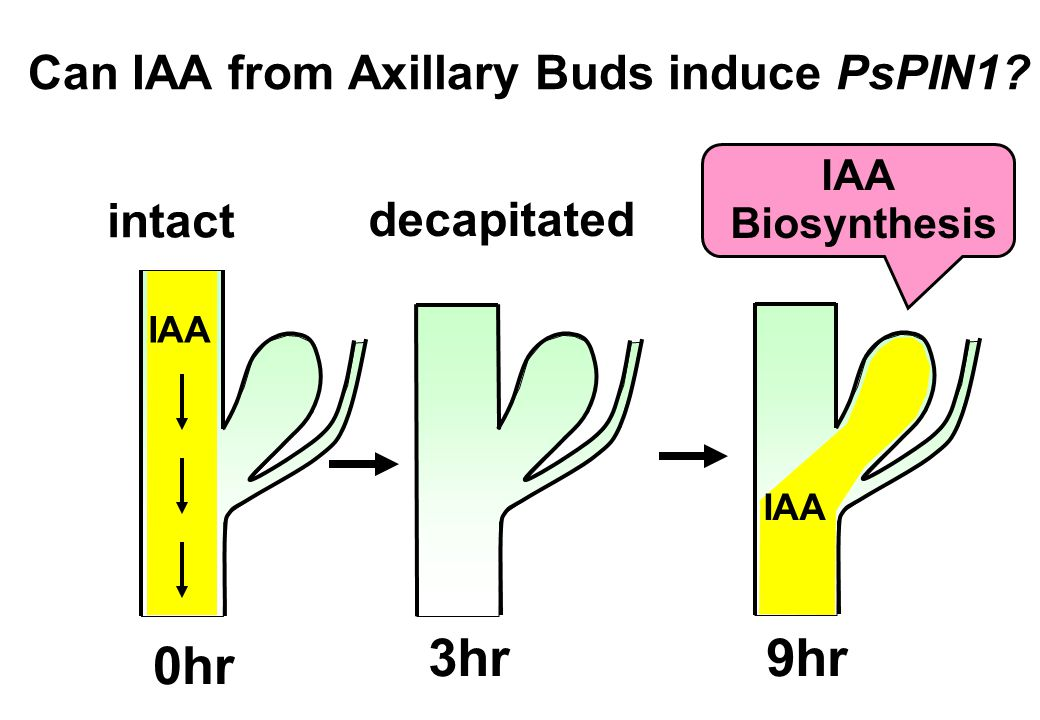 Can IAA from Axillary Buds induce PsPIN1