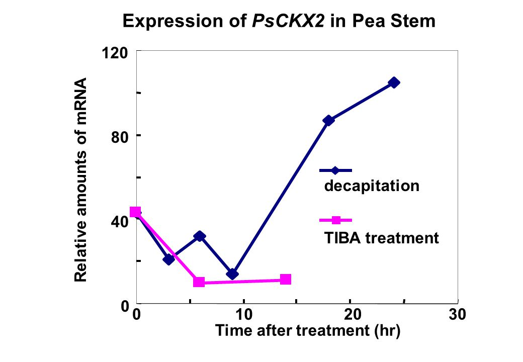 Expression of PsCKX2 in Pea Stem