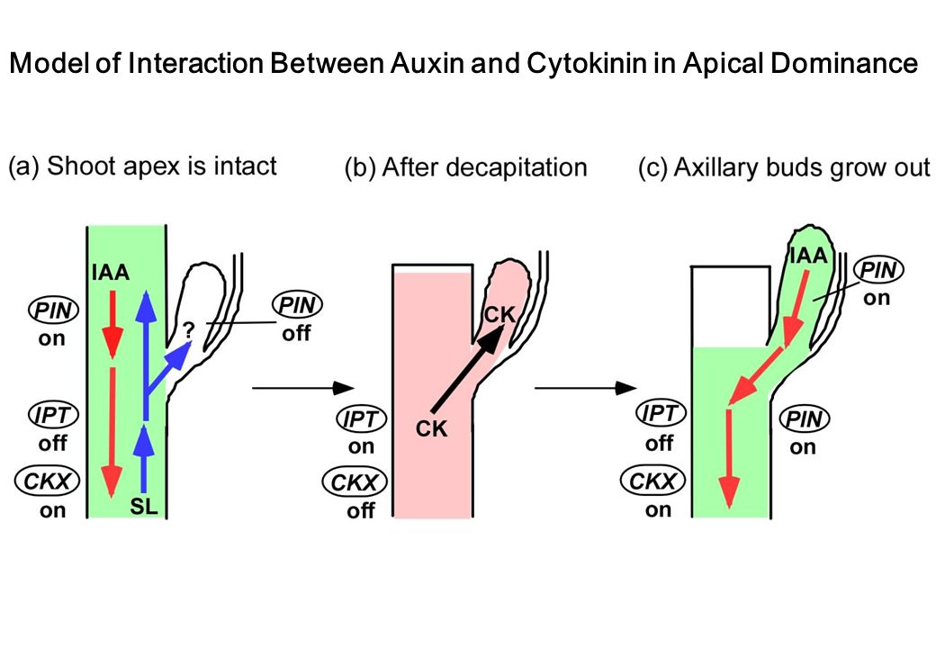 Model of Interaction Between Auxin and Cytokinin in Apical Dominance