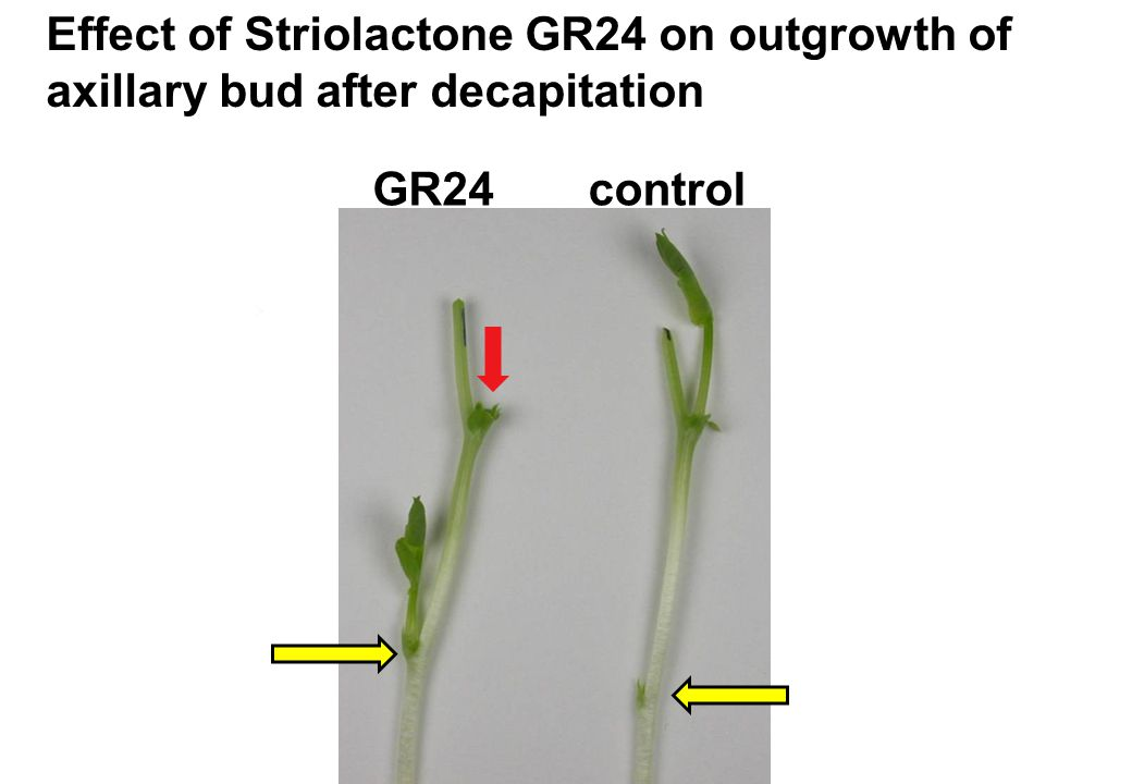 Effect of Striolactone GR24 on outgrowth of axillary bud after decapitation