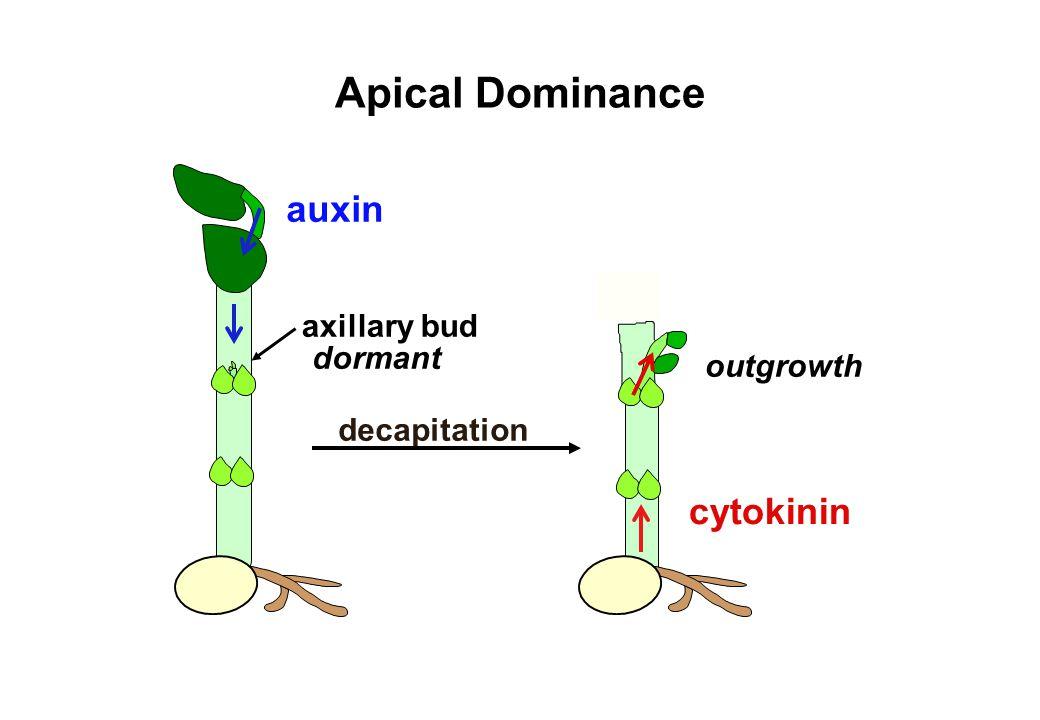 Apical Dominance auxin cytokinin axillary bud dormant outgrowth