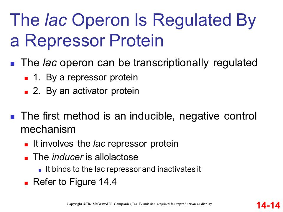 The lac Operon Is Regulated By a Repressor Protein