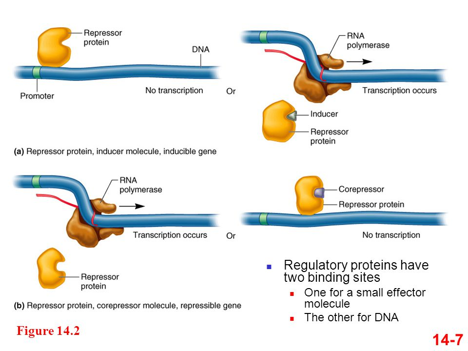 14-7 Regulatory proteins have two binding sites Figure 14.2