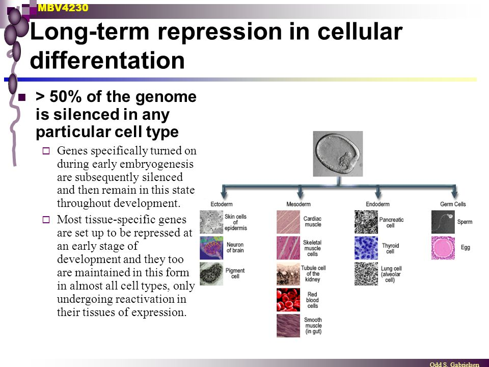 Long-term repression in cellular differentation