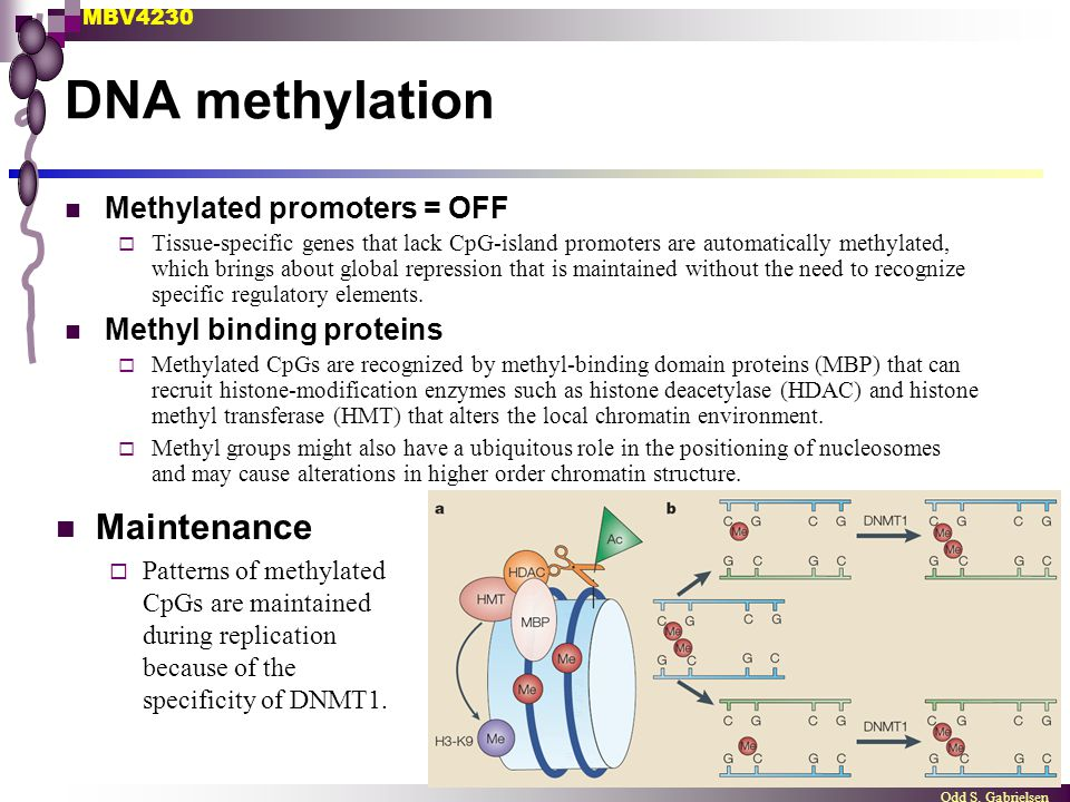 DNA methylation Maintenance Methylated promoters = OFF