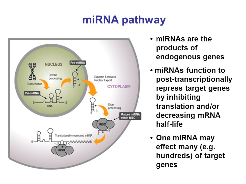 miRNA pathway • miRNAs are the products of endogenous genes