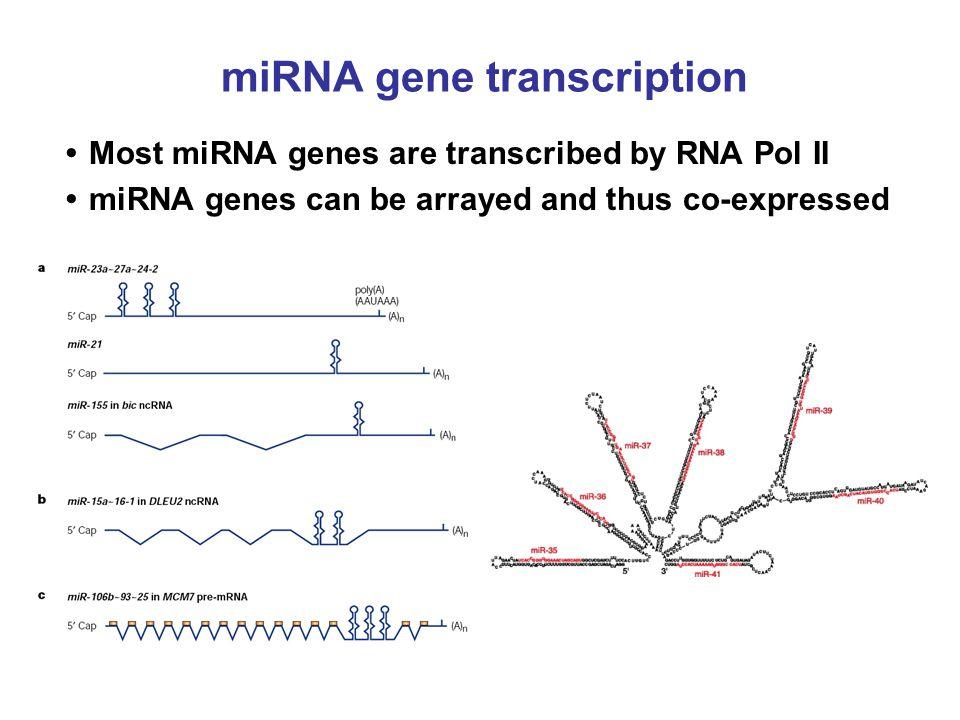 miRNA gene transcription