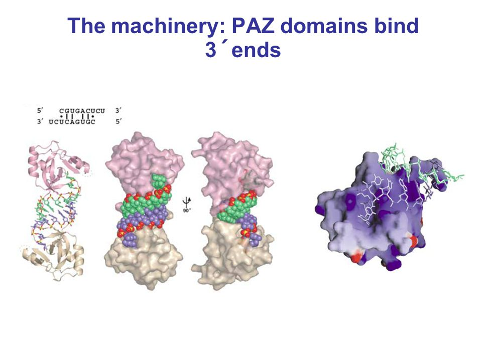 The machinery: PAZ domains bind 3´ends