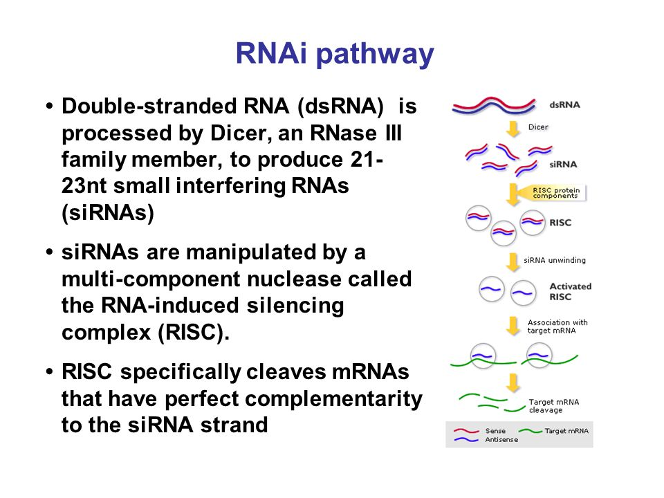 RNAi pathway • Double-stranded RNA (dsRNA) is processed by Dicer, an RNase III family member, to produce 21-23nt small interfering RNAs (siRNAs)