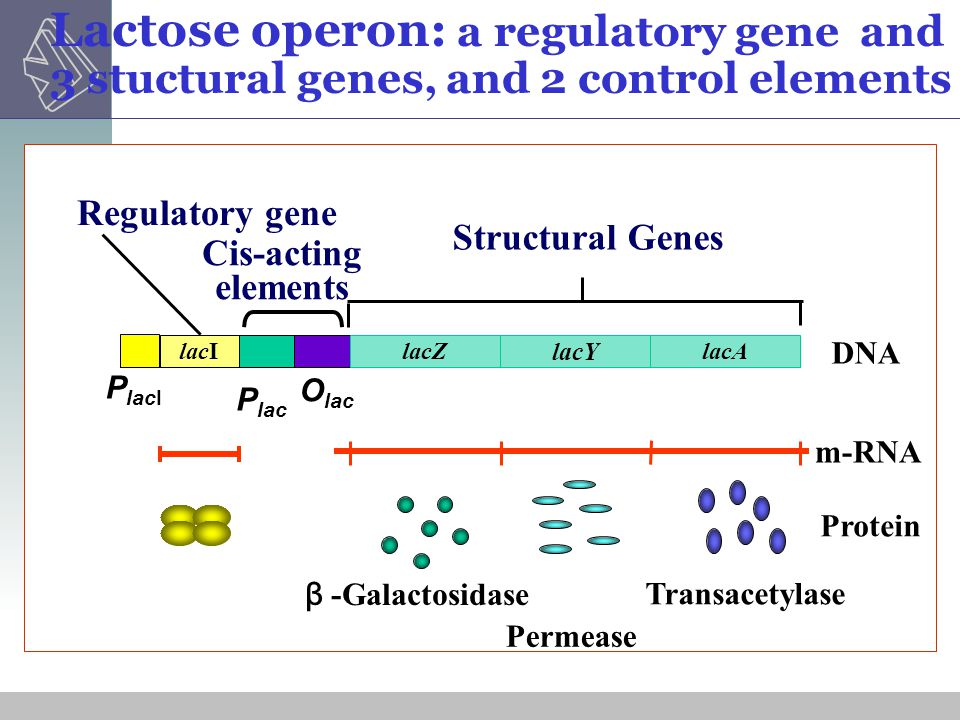 Lactose operon: a regulatory gene and 3 stuctural genes, and 2 control elements