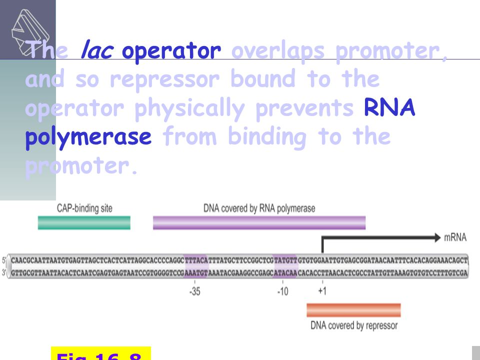 The lac operator overlaps promoter, and so repressor bound to the operator physically prevents RNA polymerase from binding to the promoter.