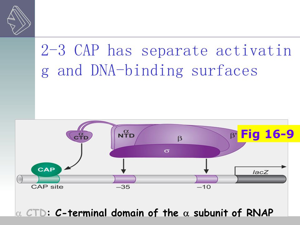 2-3 CAP has separate activating and DNA-binding surfaces