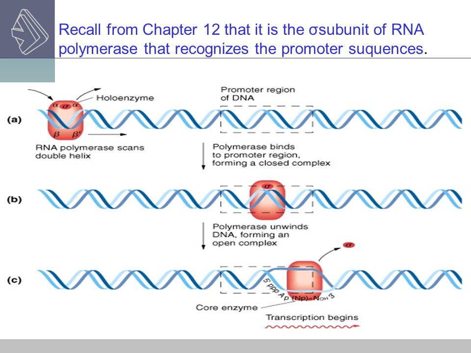Recall from Chapter 12 that it is the σsubunit of RNA polymerase that recognizes the promoter suquences.