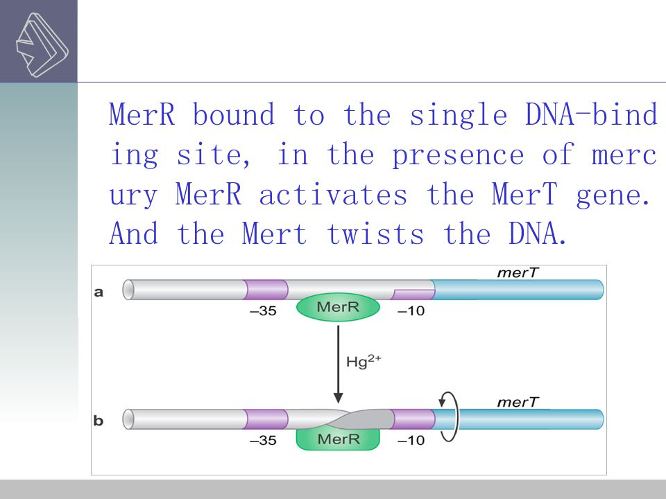 MerR bound to the single DNA-binding site, in the presence of mercury MerR activates the MerT gene.