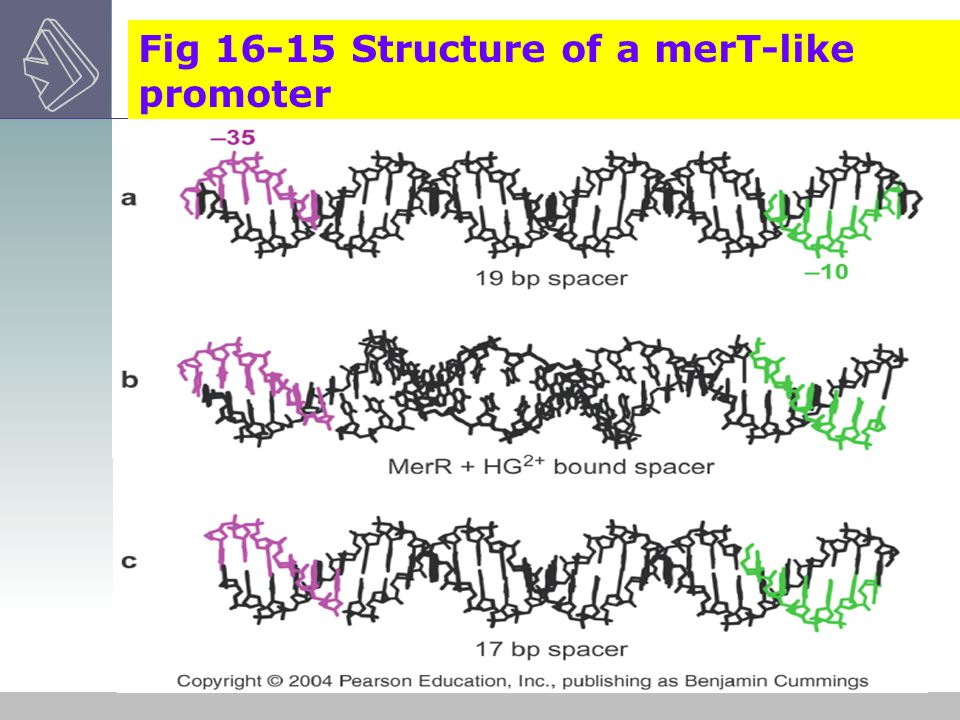 Fig 16-15 Structure of a merT-like promoter