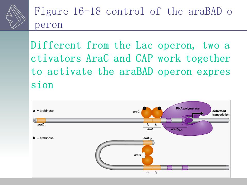 Figure 16-18 control of the araBAD operon