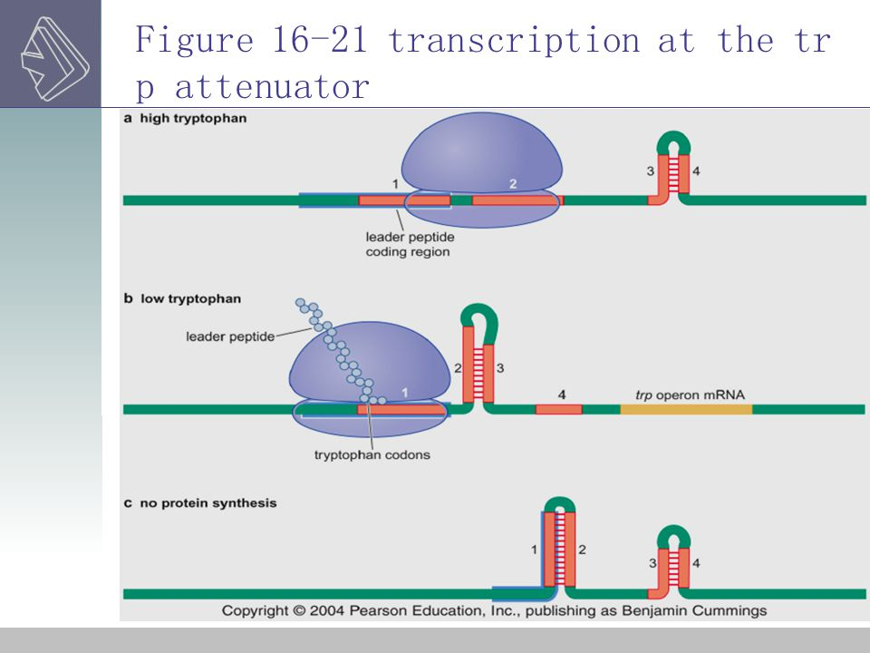 Figure 16-21 transcription at the trp attenuator