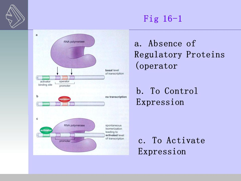 Fig 16-1 a. Absence of. Regulatory Proteins. (operator) b. To Control. Expression. c. To Activate.